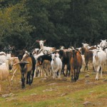 cresterea-caprelor-ghid
