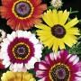 Seminte Crizantema Tricolora Amestec