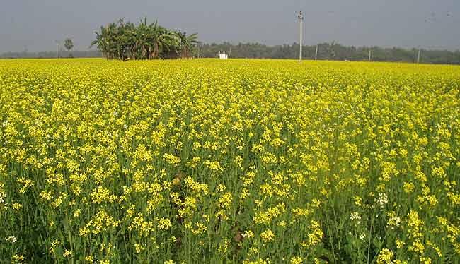 mustar-cultivare