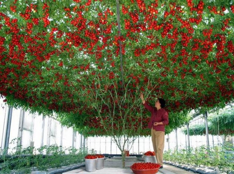 copac-rosii-1