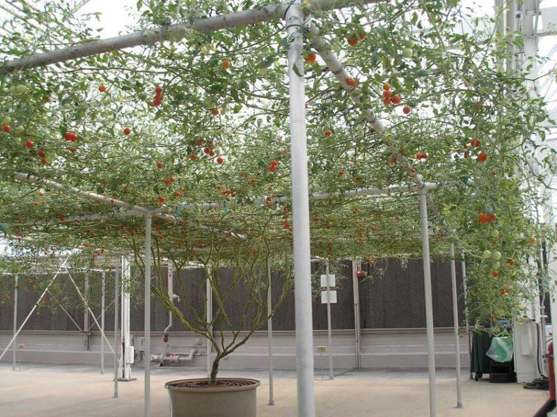 copac-rosii-2