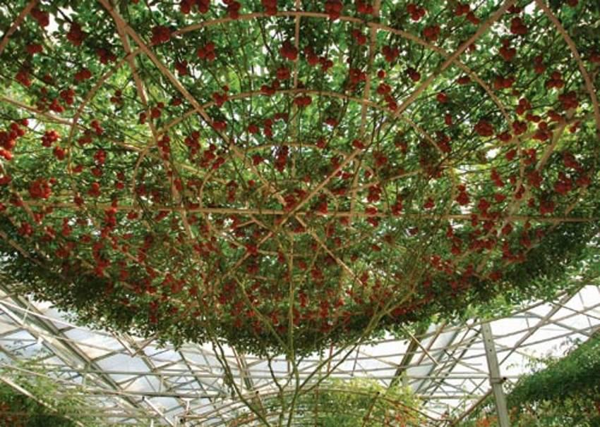 copac-rosii-3