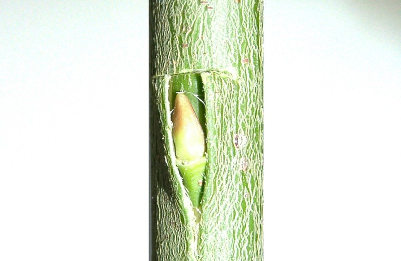 Altoirea in ochi la arborii si arbustii ornamentali