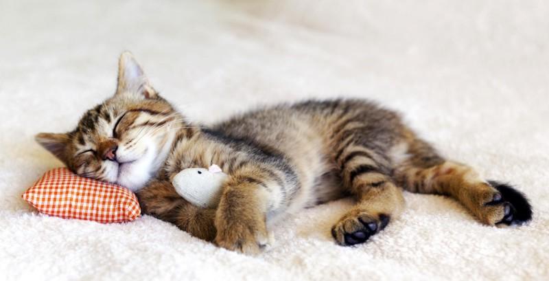 Pisica dormind