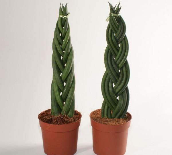 planta-sarpe